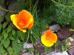 california poppy helps you relax through coughs and colds
