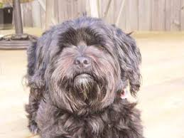affenpinscher terrier mix toby tyler the shih tzu mix designer dog photo gallery 5956