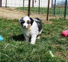australian shepherd 10 weeks old 10 week old aussie doesnt want to come and does things on purpose to upset me 21877054 jpg