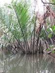 Image result for Nypa fruticans