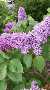 growing the best lilacs you can in interior alaska gardening