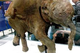 ice age baby lyuba woolly mammoth tours asia