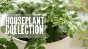 my plant collection easy u0026 low maintenance houseplants youtube