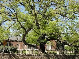 a lesson about basking ridge s oldest inhabitant the oak
