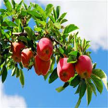 Online Fruit Trees For Sale - rare fruit trees online rare fruit trees for sale