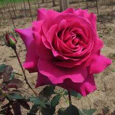 Fragrant Rose Plants Purple Prince The Fragrant Rose Company