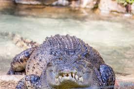 bartender resume template australia zoo crocodile feeding videos 22 things to do in port macquarie y travel blog bloglovin