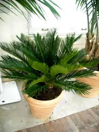 palm piper house walter knoll florist client exotic palm trees