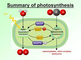 Light Independent Reactions Definition Diagram Of Light Dependent Variable Pictures To Pin On Pinterest