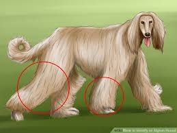 afghan hound weight how to identify an afghan hound 12 steps with pictures
