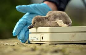 baby humboldt penguin that have been hatched at chester zoo