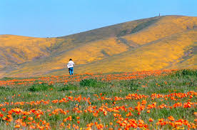 california is about to explode with a spectacular wildflower