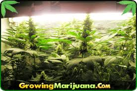 fluorescent light bulbs for growing weed fluorescent lighting for cannabis growing
