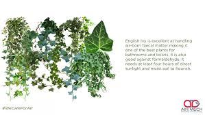 dracaena marginata we care for air