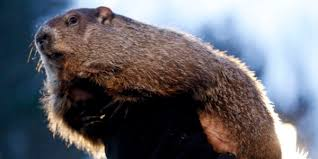 dueling groundhogs predictions 90 1 fm wabe