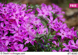 Phlox Flower Purple Phlox Flower Free Stock Photos U0026 Images 4716060