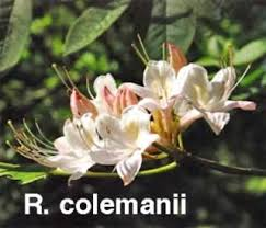 Most Fragrant Plants - henning u0027s rhododendron u0026 azalea pages