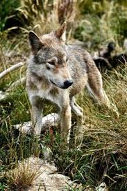 wolf with summer coat by chris brown photo wolves