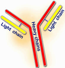 heavy chain light chain porcine immunoglobulins introductory course in swine immunology