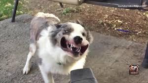 australian shepherd youtube dog vs leaf blower