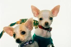 Make Bathtime Fun For Your Dog How To Bathe U0026 Remove Fleas For A Teacup Chihuahua Puppy Pets