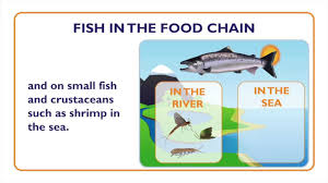fish what is a fish fish characteristics and food chain