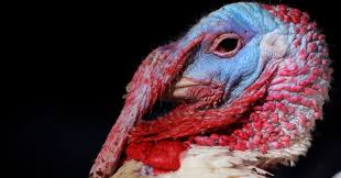 real photos of live turkeys that ll ruin thanksgiving dinner