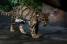 clouded leopard wikipedia