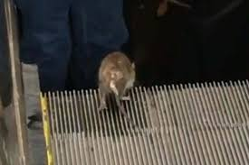 crushed by escalator rodent on escalator perfectly sums up rush hour rat race new