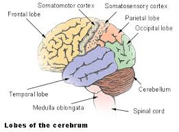 What Is The Main Function Of The Medulla Oblongata Human Brain Kullabs Com