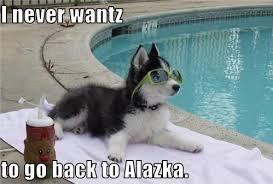Funny Husky Memes - funny siberian husky memes siberian best of the funny meme