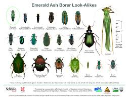 emerald ash borer department of agriculture u2013 plants