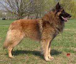 belgian sheepdog short hair belgnte belgian shepherds about the breed