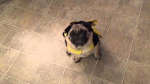 pug in a bumblebee costume for halloween youtube