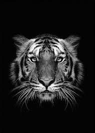 black tiger arrogant shop