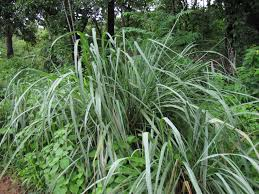 plants native to louisiana lemongrass citronella grass cymbopogon plant care guide