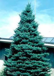 blue colorado spruce