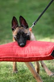 belgian sheepdog gif belgian malinois red star kennel