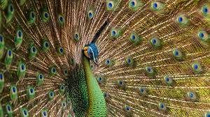 peacock feather live wallpaper android apps on google play