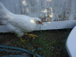 white leghorn or white rock backyardherds com