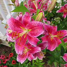 lilly flowers flower bulbs lillies lilium american