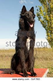 belgian sheepdog groenendael sale belgian shepherd dog groenendael black running on snow