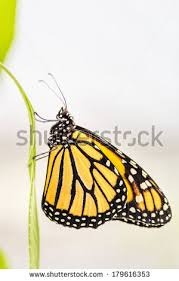 yellow and black butterfly stock images royalty free images