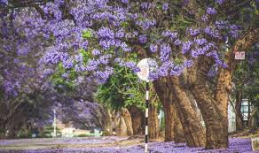 tree with purple flowers the purple flower trees this is africa lifestyle