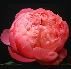 peonies wholesale wholesale coral peony flowers buy fresh cut bulk pink peonies