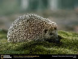hedgehog picture hedgehog desktop wallpaper free wallpapers