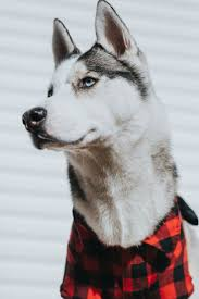13 best dog costumes images on pinterest dog costumes husky and