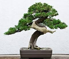 bonsai tree meaning
