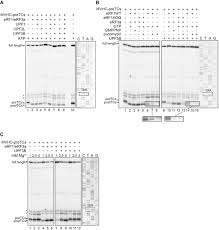 dual function of upf3b in early and late translation termination