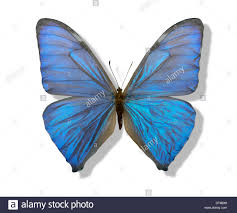 chatoyant blue butterfly with spread wings in white back with